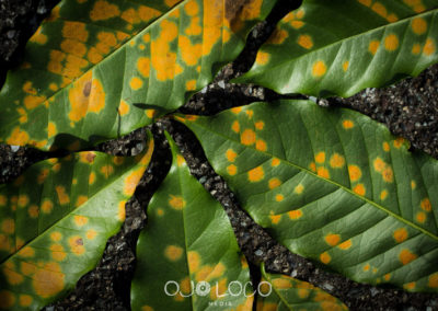 leaf rust coffee